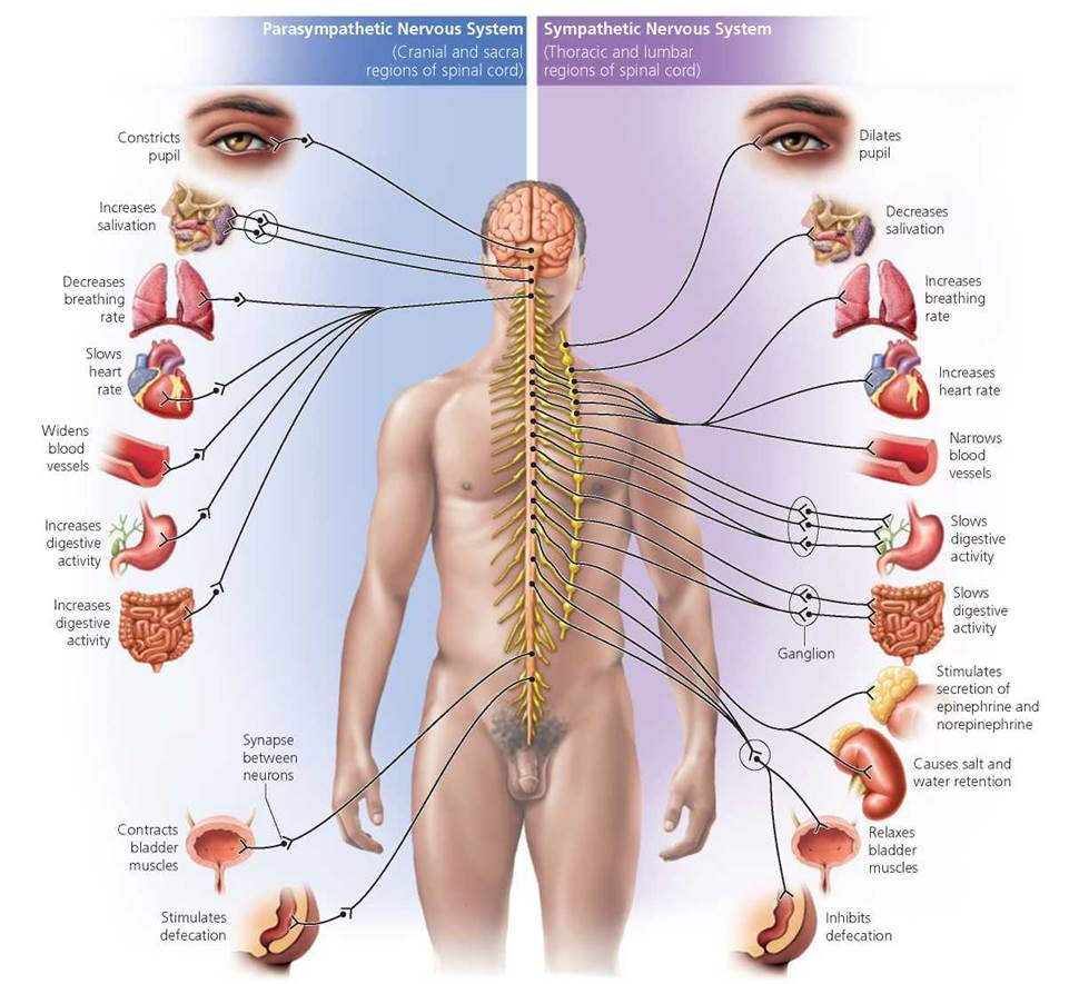 Fig. 1 Effects of the sympathetic and parasympathetic nervous system on the organs of the body.